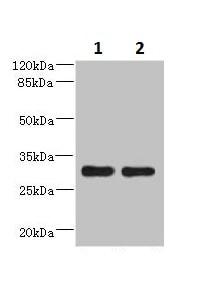 Western blot - Anti-DRAM2 antibody (ab230191)
