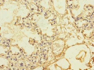 Immunohistochemistry (Formalin/PFA-fixed paraffin-embedded sections) - Anti-Thrombomodulin antibody (ab230197)