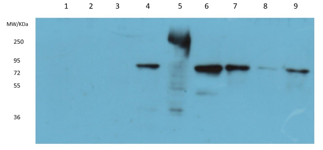 Western blot - Anti-NEDD1 antibody (ab230201)