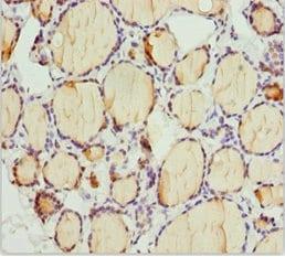 Immunohistochemistry (Formalin/PFA-fixed paraffin-embedded sections) - Anti-TAPP-1 antibody (ab230204)