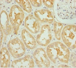 Immunohistochemistry (Formalin/PFA-fixed paraffin-embedded sections) - Anti-OPA3 antibody (ab230205)