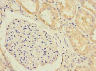 Immunohistochemistry (Formalin/PFA-fixed paraffin-embedded sections) - Anti-EAAT5 antibody (ab230207)