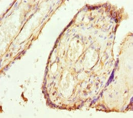 Immunohistochemistry (Formalin/PFA-fixed paraffin-embedded sections) - Anti-TMEM43 antibody (ab230213)