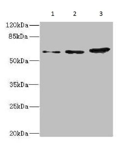 Western blot - Anti-HERV-FRD antibody (ab230235)