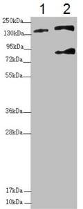 Western blot - Anti-SFI1 antibody (ab230242)