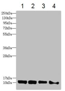 Western blot - Anti-DNAJC19 antibody (ab230244)