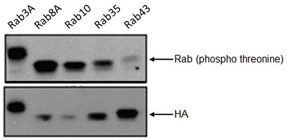 Western blot - Anti-RAB8A (phospho T72) antibody [MJF-R20] (ab230260)
