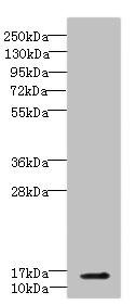 Western blot - Anti-PGEA1 antibody (ab230304)