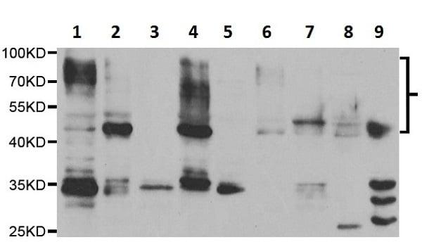Western blot - Anti-Poliovirus Receptor/PVR antibody (ab230338)