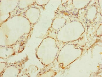 Immunohistochemistry (Formalin/PFA-fixed paraffin-embedded sections) - Anti-FXC1 antibody (ab230355)