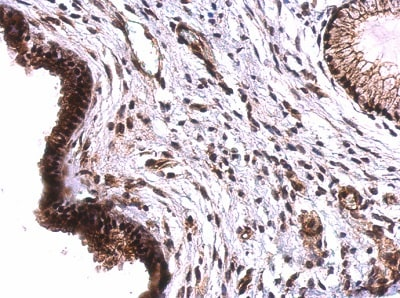 Immunohistochemistry (Formalin/PFA-fixed paraffin-embedded sections) - Anti-Tet2 antibody - N-terminal (ab230358)