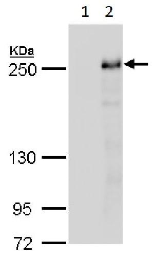 Western blot - Anti-Tet2 antibody - N-terminal (ab230358)