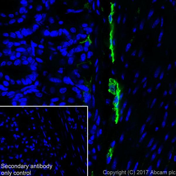 Immunohistochemistry (Frozen sections) - Anti-LYVE1 antibody [EPR21771] - BSA and Azide free (ab230377)