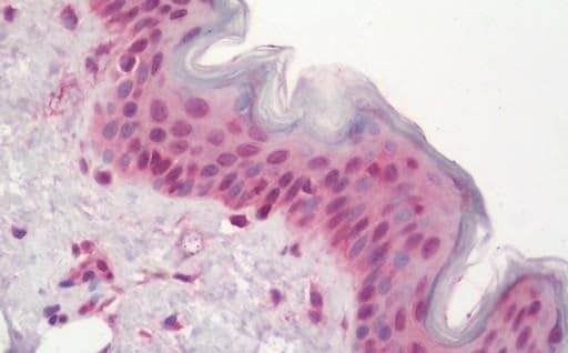 Immunohistochemistry (Formalin/PFA-fixed paraffin-embedded sections) - Anti-POLE4 antibody (ab230399)