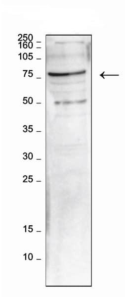 Western blot - Anti-LEO1/RDL antibody (ab230403)