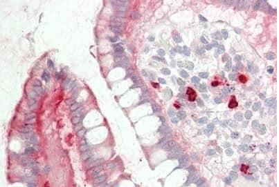 Immunohistochemistry (Formalin/PFA-fixed paraffin-embedded sections) - Anti-Myh14 antibody (ab230418)