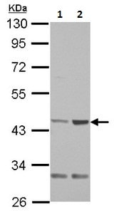 Western blot - Anti-TGT antibody (ab230430)