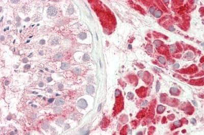 Immunohistochemistry (Formalin/PFA-fixed paraffin-embedded sections) - Anti-PAOX/PAO antibody (ab230441)