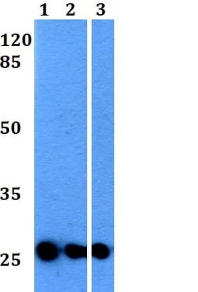 Western blot - Anti-Tspan-8 antibody (ab230448)