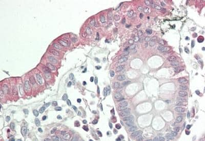 Immunohistochemistry (Formalin/PFA-fixed paraffin-embedded sections) - Anti-Tspan-8 antibody (ab230448)