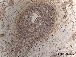 Immunohistochemistry (Formalin/PFA-fixed paraffin-embedded sections) - Anti-eNOS antibody - C-terminal (ab230455)