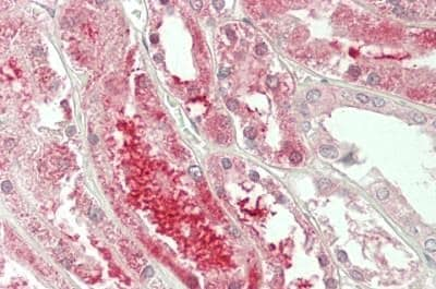 Immunohistochemistry (Formalin/PFA-fixed paraffin-embedded sections) - Anti-GNRPX antibody (ab230529)