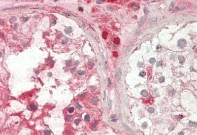 Immunohistochemistry (Formalin/PFA-fixed paraffin-embedded sections) - Anti-Apelin antibody - C-terminal (ab230536)