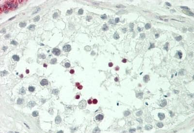 Immunohistochemistry (Formalin/PFA-fixed paraffin-embedded sections) - Anti-ICER antibody (ab230543)