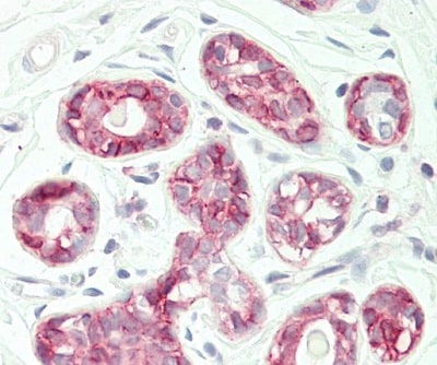 Immunohistochemistry (Formalin/PFA-fixed paraffin-embedded sections) - Anti-SI1 antibody (ab230550)