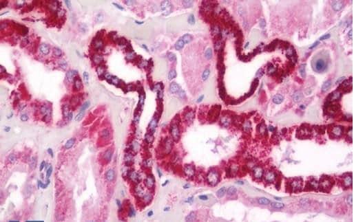Immunohistochemistry (Formalin/PFA-fixed paraffin-embedded sections) - Anti-OP-2 antibody (ab230553)