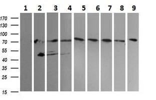 Western blot - Anti-NCAM1 antibody [1G4] (ab230724)
