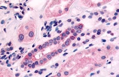Immunohistochemistry (Formalin/PFA-fixed paraffin-embedded sections) - Anti-5HT1F Receptor antibody (ab230794)
