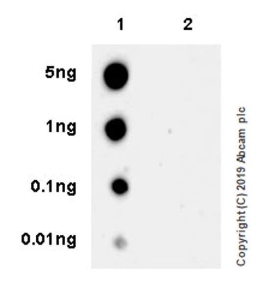 Dot Blot - Anti-FAK (phospho Y925) antibody [EPR22330-75] (ab230813)