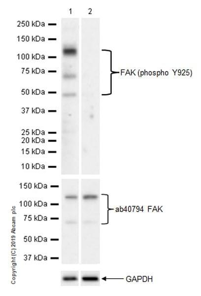 Western blot - Anti-FAK (phospho Y925) antibody [EPR22330-75] (ab230813)