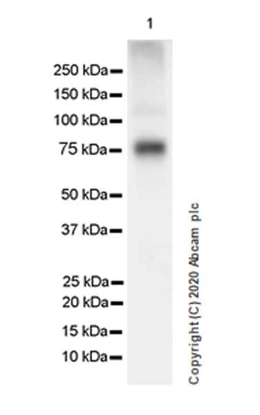 Western blot - Anti-BMAL1 antibody [EPR23696-22] (ab230822)