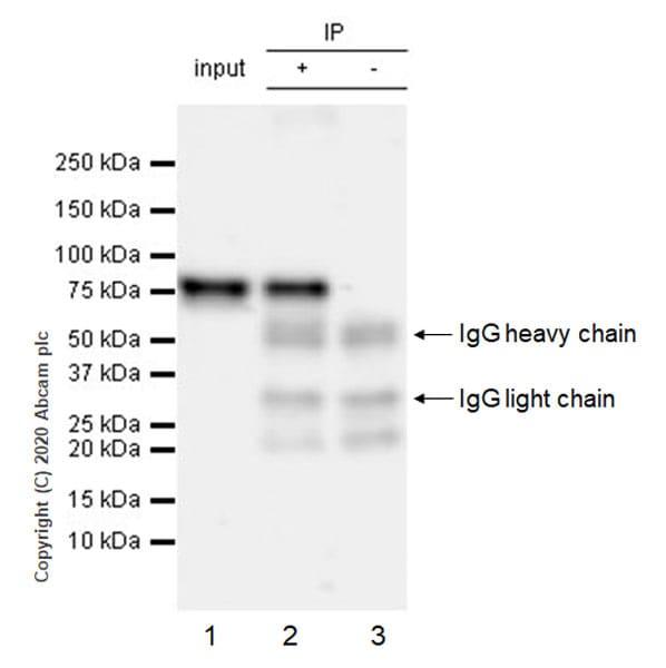 Immunoprecipitation - Anti-BMAL1 antibody [EPR23696-22] (ab230822)
