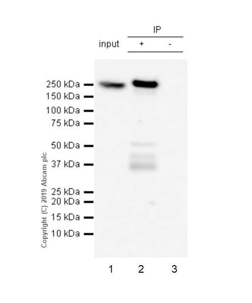 Immunoprecipitation - Anti-non-muscle Myosin IIB/MYH10 antibody [EPR22564-23] (ab230823)