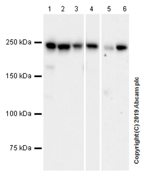 Western blot - Anti-non-muscle Myosin IIB/MYH10 antibody [EPR22564-23] (ab230823)