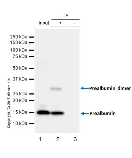 Immunoprecipitation - Anti-Prealbumin antibody [EPR20971] - BSA and Azide free (ab230828)