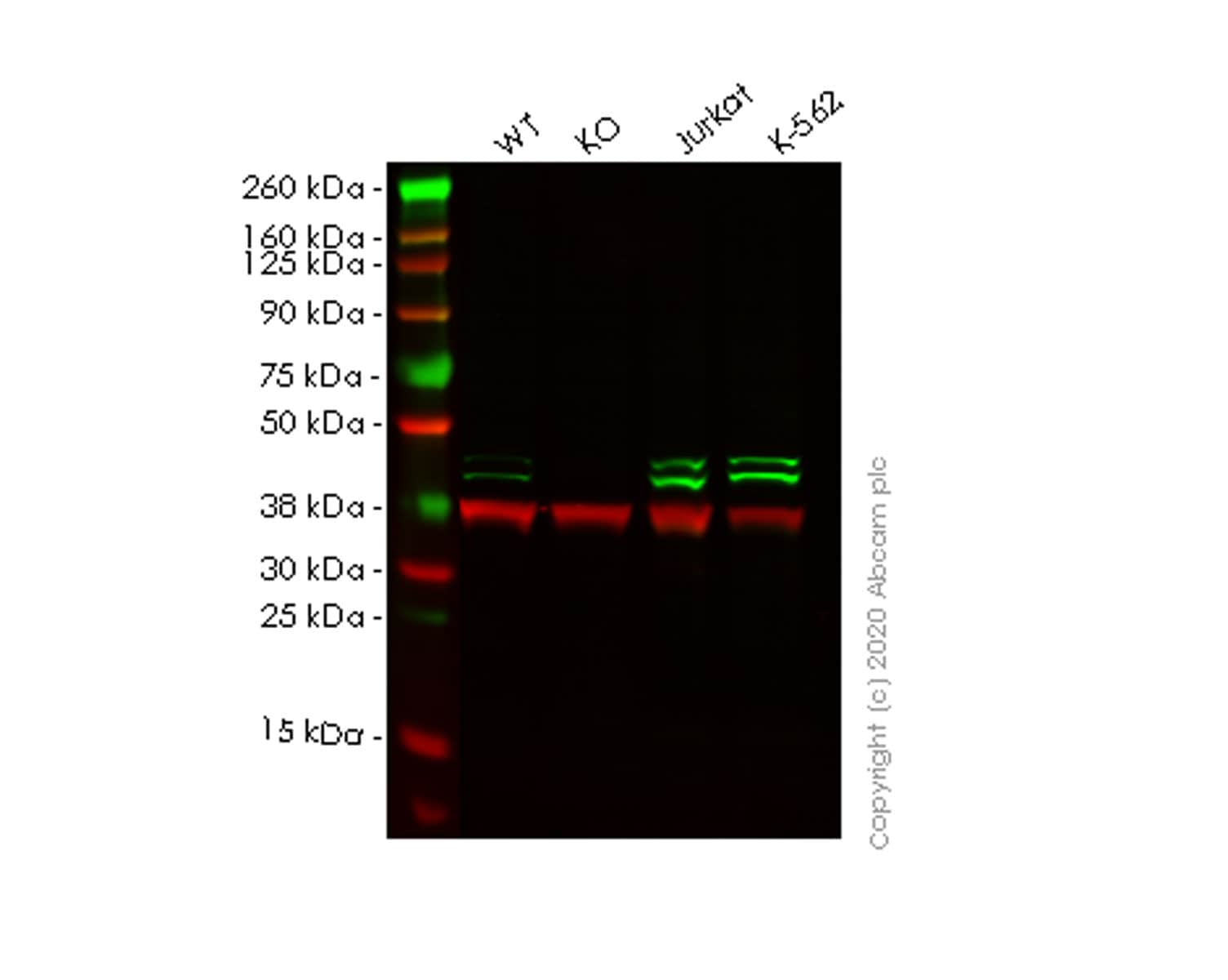 Western blot - Anti-TIA1 antibody [EPR9304] - BSA and Azide free (ab230829)
