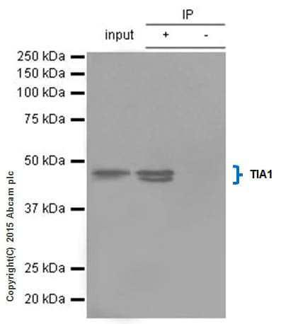 Immunoprecipitation - Anti-TIA1 antibody [EPR9304] - BSA and Azide free (ab230829)