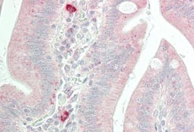 Immunohistochemistry (Formalin/PFA-fixed paraffin-embedded sections) - Anti-Caspase-5 antibody (ab230840)