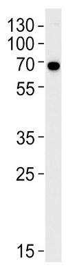 Western blot - Anti-KLC1 antibody (ab230859)
