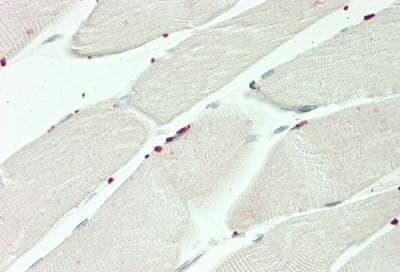 Immunohistochemistry (Formalin/PFA-fixed paraffin-embedded sections) - Anti-PRDM13 antibody - N-terminal (ab230867)