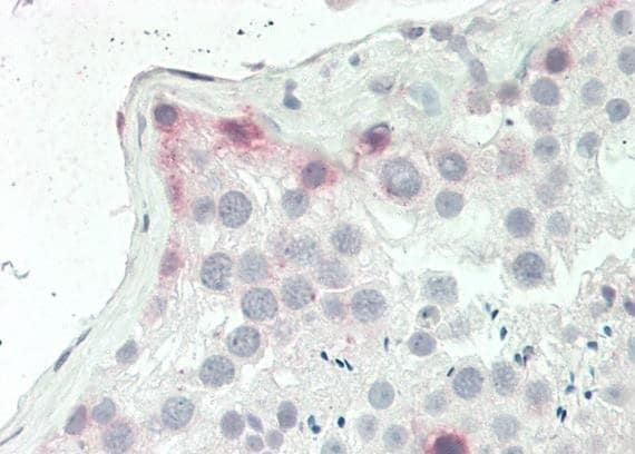 Immunohistochemistry (Formalin/PFA-fixed paraffin-embedded sections) - Anti-GPCR GPR120 antibody (ab230869)