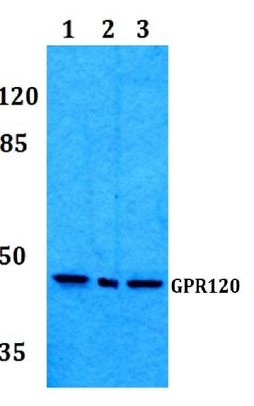Western blot - Anti-GPCR GPR120 antibody (ab230869)
