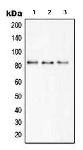 Western blot - Anti-SLC6A15 antibody - N-terminal (ab230890)