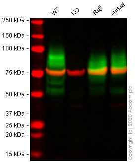 Western blot - Anti-CD147 antibody [10E10] (ab230921)