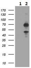 Western blot - Anti-HTF9C/TRMT2A antibody [1G8] (ab230922)