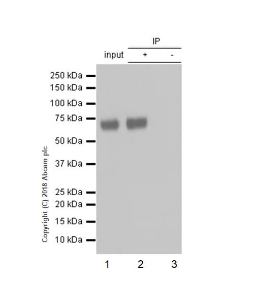 Immunoprecipitation - Anti-ICOS Ligand/ICOSL antibody [EPR20786] (ab230946)